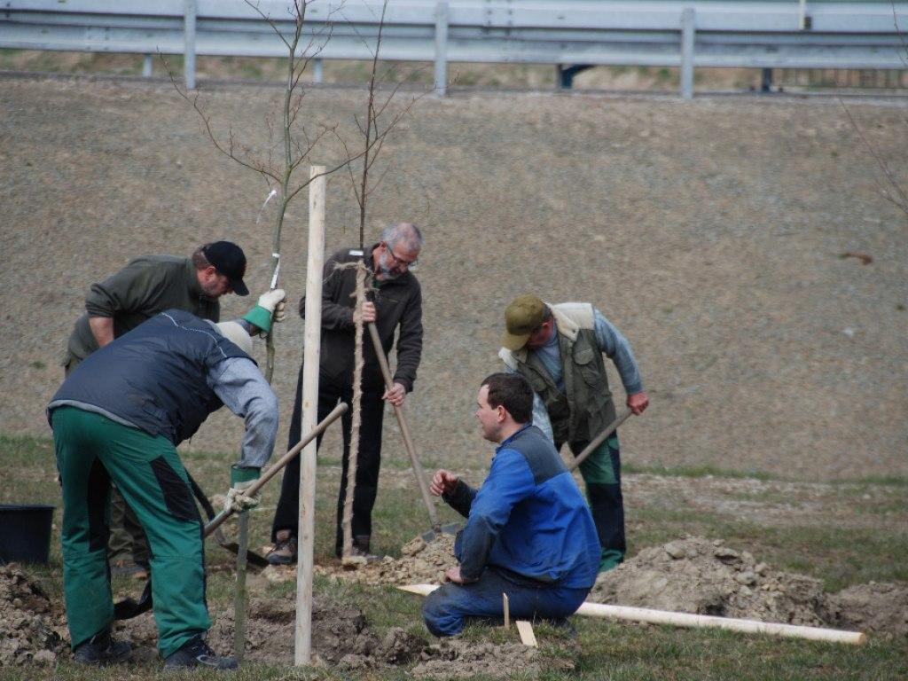 Výsadba stromů u kruhového objezdu 6