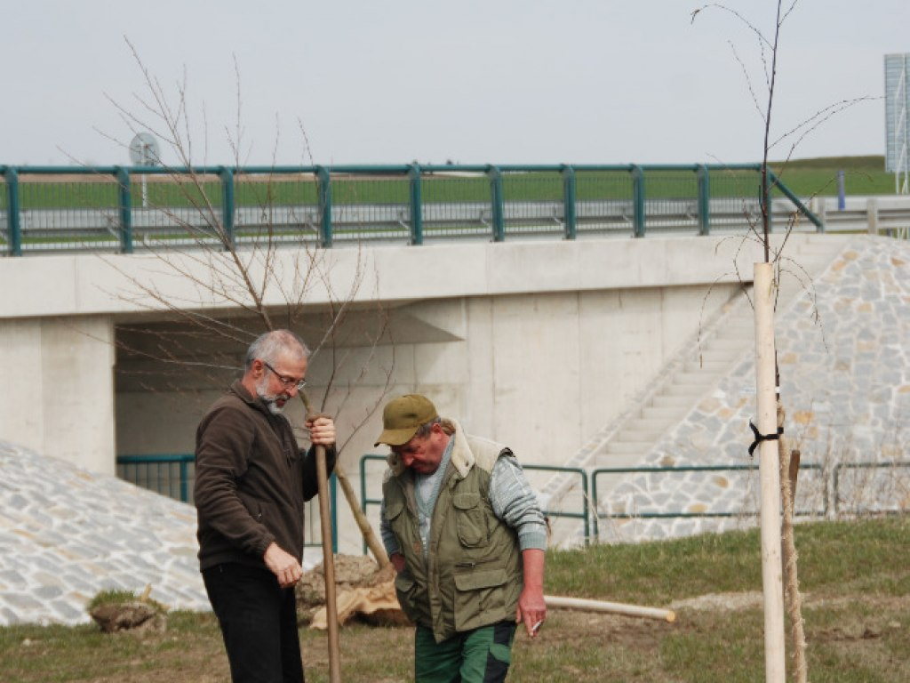 Výsadba stromů u kruhového objezdu 11