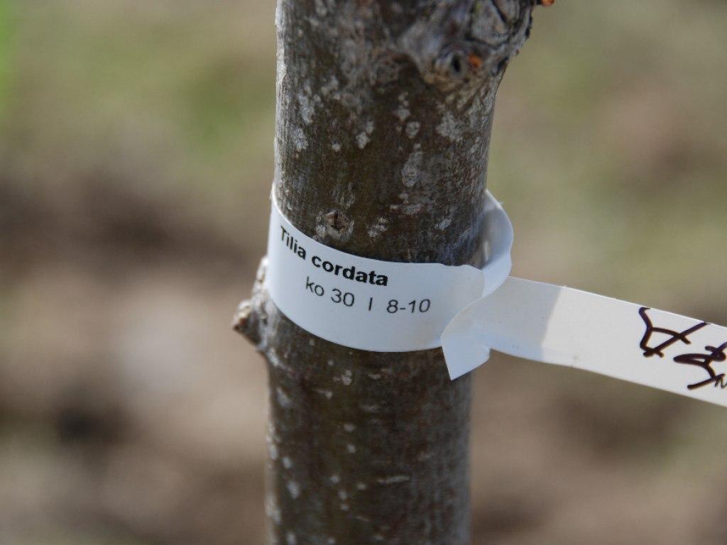 Výsadba stromů u kruhového objezdu 19