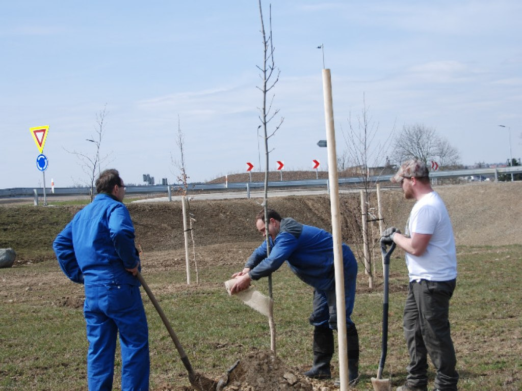 Výsadba stromů u kruhového objezdu 24