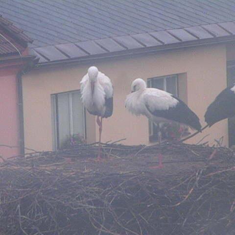Pohled do hnízda čápa bílého v Novém veselí
